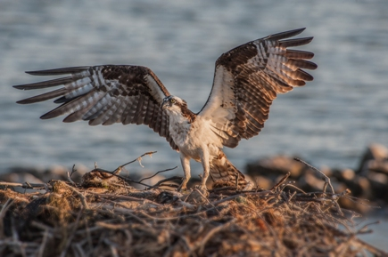 A female osprey makes her nest in Talbot County, Maryland.